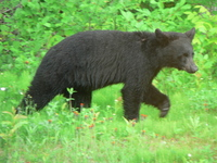 Young Black Bear,animals
